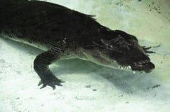 krokodil Lizenzfreie Stockfotografie
