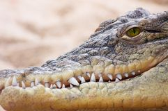 Krokodil Stockfoto