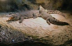 krokodil royalty-vrije stock afbeelding