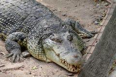 Krokodil, Ansicht von oben Lizenzfreies Stockfoto