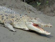 Krokodil auf der Flussquerneigung Stockfotos