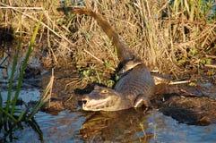 Krokodil auf der Uhr Stockfotografie