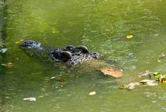 Krokodil auf einem Bauernhof, Thailand Stockfotos