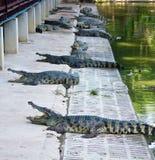 Krokodil auf einem Bauernhof, Thailand Lizenzfreies Stockfoto