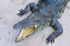 Krokodil auf einem Bauernhof, Thailand Stockbild