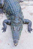 Krokodil auf einem Bauernhof, Thailand Lizenzfreie Stockfotografie