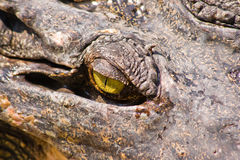 Krokodil auf einem Bauernhof, Thailand Stockfotografie