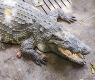 Krokodil auf einem Bauernhof, Thailand Lizenzfreie Stockbilder