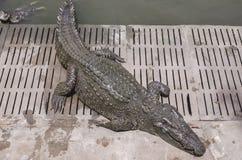 Krokodil auf einem Bauernhof, Thailand Stockfoto