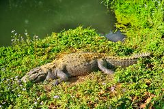 Krokodil auf einer Flussbank Stockbild