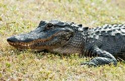 Krokodil auf Land Stockbild
