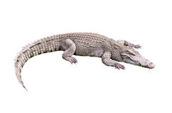 Krokodil auf weißem backgroung Stockbilder