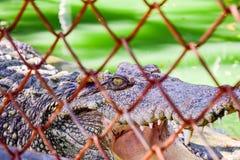 Krokodil-Auge Lizenzfreies Stockfoto