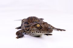 Krokodil-Ausbrüten Lizenzfreie Stockfotos