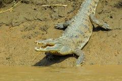 Krokodil av Costa Rica Royaltyfria Bilder