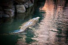 Krokodil bakifrån som simmar på yttersidan av vattnet royaltyfri fotografi