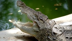 Krokodil in baroda dierentuin wordt gevonden die stock foto