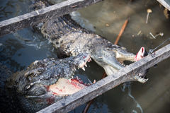 Krokodil-beschäftigtes Essen Stockfoto