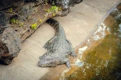 Krokodil bij de dierentuin stock foto