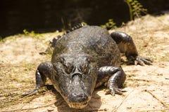 Krokodil bij de rivier Stock Fotografie