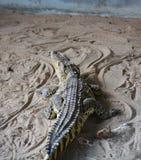 Krokodil bij dierentuin Royalty-vrije Stock Afbeelding