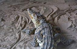 Krokodil bij dierentuin Royalty-vrije Stock Fotografie
