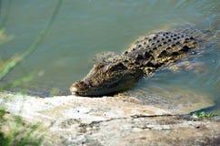 Krokodil bij rivierbank Stock Foto