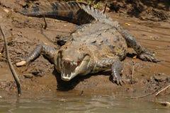 Krokodil bij rivierenrand royalty-vrije stock afbeeldingen