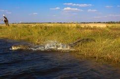 Krokodil in Botswana Royalty-vrije Stock Foto
