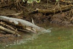 Krokodil in Brunei Darussalam stock foto