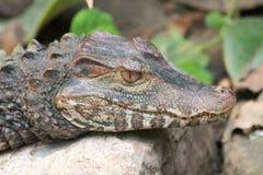 Krokodil (Crocodilia) stock fotografie
