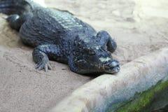 Krokodil (Crocodilia) stock foto