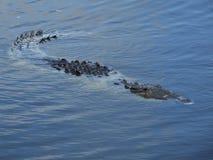 Krokodil (Crocodylus acutus) Stockbilder