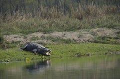 Krokodil, Crocodylus palustris Stockbild