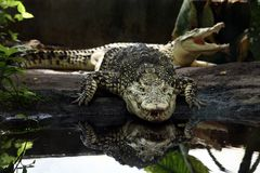 krokodil cuba Royaltyfri Fotografi
