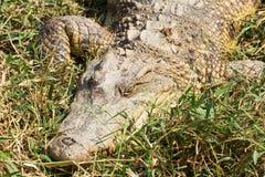 Krokodil, das auf das Gras legt Stockbild