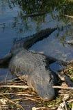 Krokodil, das auf Querneigung stillsteht Lizenzfreie Stockfotografie