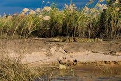 Krokodil, das in der Sonne sich aalt Lizenzfreies Stockbild