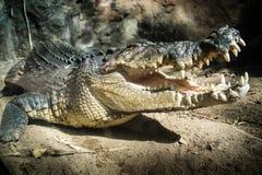 Krokodil, das in der Sonne sich aalt Stockbild