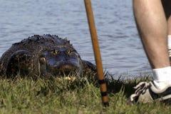 Krokodil, das entlang des Wanderers anstarrt Stockbild