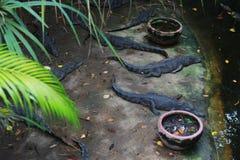 Krokodil, das im Schatten von Palmen stillsteht stockbilder