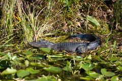 Krokodil, das im Sumpf stillsteht Lizenzfreies Stockfoto