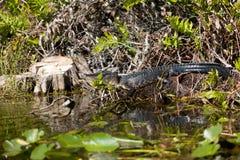 Krokodil, das im Sumpf stillsteht Stockfotos