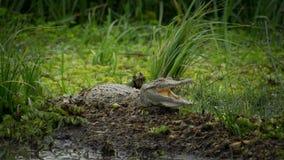 Krokodil, das mit grünem Hintergrund liegt und lächelt stockfotografie