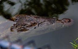 Krokodil, das vom Wasser auftaucht Lizenzfreies Stockfoto