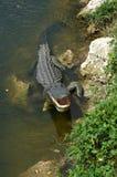 Krokodil, das weg abkühlt Stockbild
