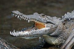 Krokodil, das Zähne zeigt Stockfoto