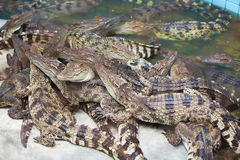 Krokodil, de Alligator Royalty-vrije Stock Fotografie