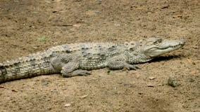 Krokodil in de dierentuin stock foto