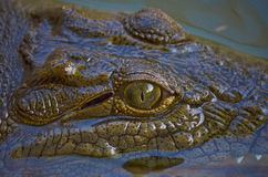 Krokodil in de Rivier van Nijl Stock Afbeelding